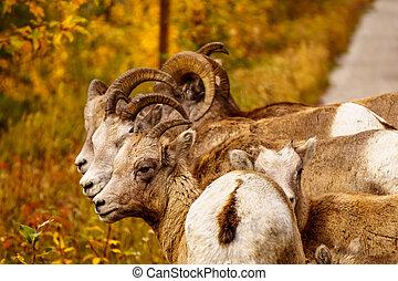 grande, cuerno, Sheep, en, jaspe,
