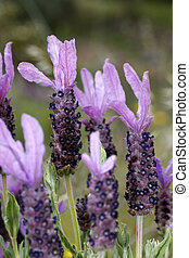 Lavender flowers - View of several wild lavender flowers on...