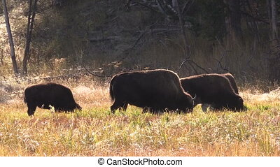 Bison Herd - a bison herd in yellowstone national park...