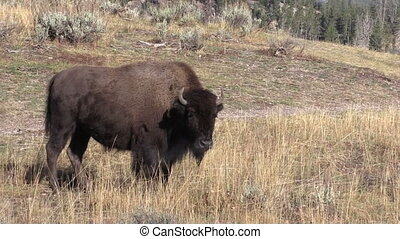 Bison - a bison in yellowstone national park wyoming