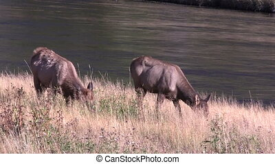 Cow elk Grazing - a pair of cow elk grazing next to a river