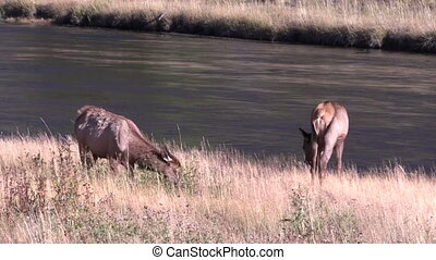 Cow Elk - a pair of cow elk feeding along a river