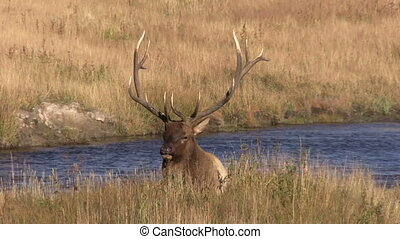Bull Elk Bedded - a bedded bull elk during the fall rut