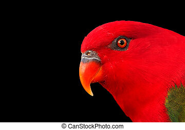 Chattering Lory - Portrait of Chattering Lory isolated over...