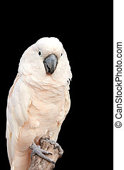 White Cockatoo - Portrait of a White Cockatoo isolated on...