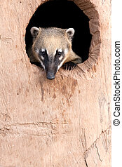 Ring -tailled coati - Portrait of a Ring Tailled Coati...