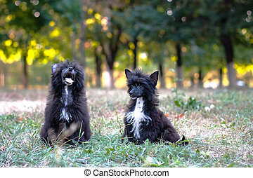 Chinese shaggy dog - Two Chinese Crested dog sitting on the...