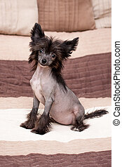 Chinese shaggy dog - Little funny Chinese Crested dog...