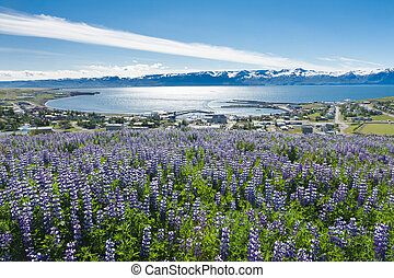 Husavik - View at Husavik Bay through meadows full of...
