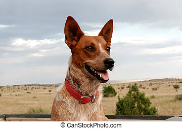 dog - australian cattle dog at the look out