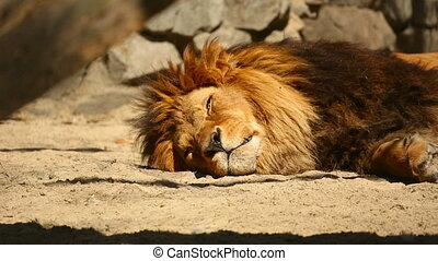 Resting lion - Lion napping in the midday sun