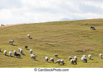 flock of sheep on green grass, Durmitor, Montenegro