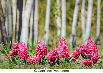 Hyacinth Flowers in front of the Trees