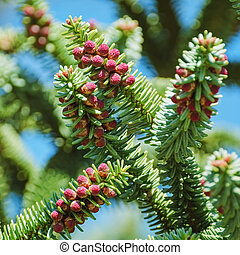 Spanish Fir - Branchlet of Spanish Fir (Abies pinsapo) with...