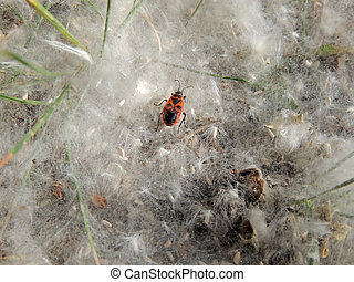 Firebug in the poplar seed tufts - Firebug (Pyrrhocoris...