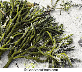 Seaweed in the Sand - green seaweed covered in sand at the...