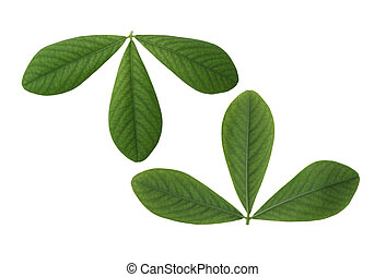 False Indigo Leaf - Two sides of False Indigo Leaf isolated...