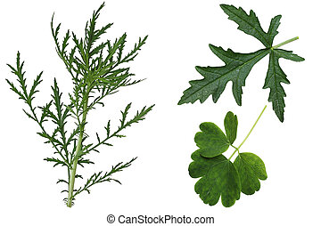 Leaf Set - Set of Musk Mallow Malva moschata, wild, leaves...