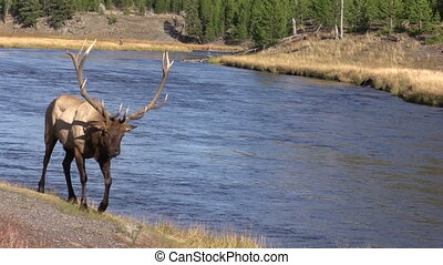 Bull Elk Walking - a bull elk walks along a river during the...