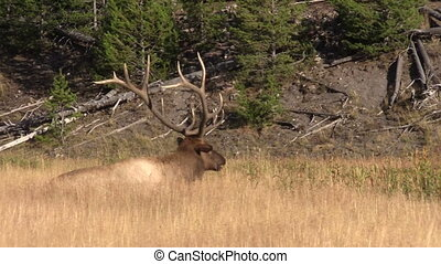 Bull Elk Bedded - a big bull elk bedded in a meadow during...