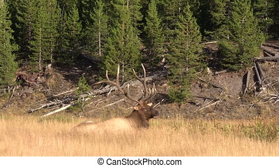 Bull Elk Bedded - a bull elk bedded in a meadow