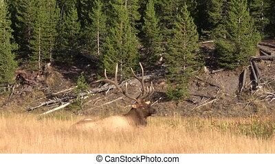 Bull Elk Bedded - a bull elk bedded in a meadow