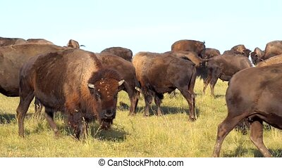 Bison mating attempt Badlands South Dakota - Wild Buffalo...
