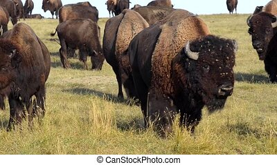 Warning Call American Bison Badlands South Dakota - Wild...