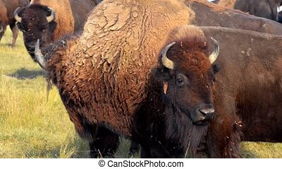 Close- up American Bison Badlands South Dakota - Wild...