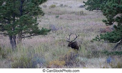 Male Elk Rocky Mountain National Park Steady Shot - Single...