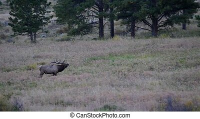 Large Male Elk Calling Rocky Mountain National Park - Elk...