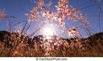 Warm Summer Sun Through Grass Seeds - This clip is of warm...