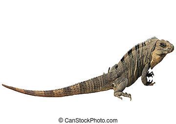 Iguana - Side view of iguana isolated on a white