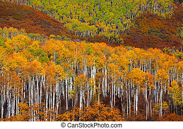 Colorful Aspen trees at Kebler pass in Colorado