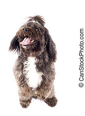 dog standing on his hind legs - Havanese dog standing on his...