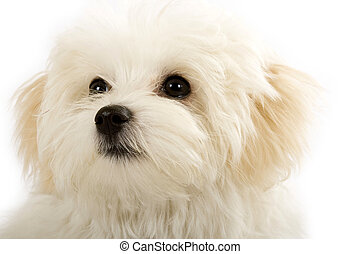 face of an adorable bichon maltese over white