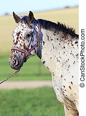 Portrait of Altai native breed horse piebald or pied suit -...