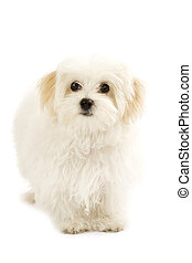 bichon maltese looking away - piture of a bichon maltese...
