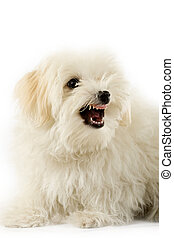 a very intimidating bichon maltese showing its teeth