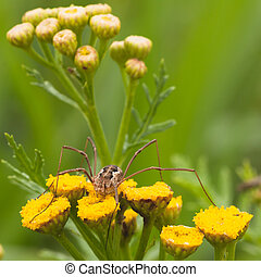 Daddy Long Legs on Tansy Flower - Macro of a daddy long leg...