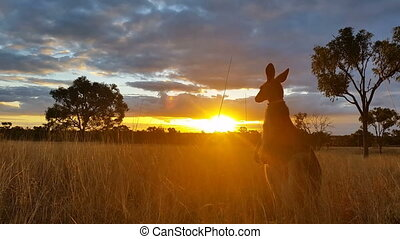 Kangaroo Sunset Australia Landscape - This is a sunset...