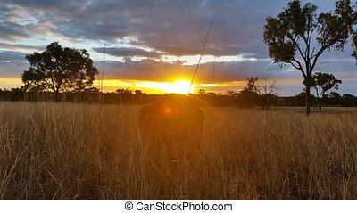 Kangaroo Eating Sunset Australia Landscape - This is a...