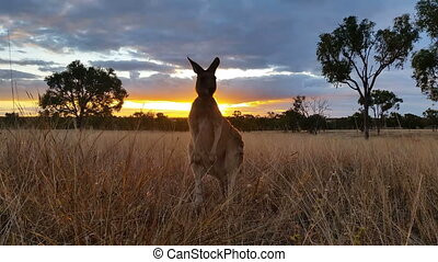 Kangaroo Wallaby Sunset Australia Landscape - This is a...