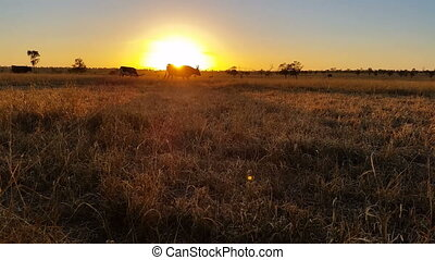 Texas Longhorn cattle sunset landscape - Texas Longhorn...