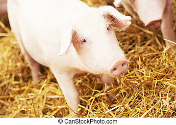 young piglet on hay at pig farm - One young piglet on hay...