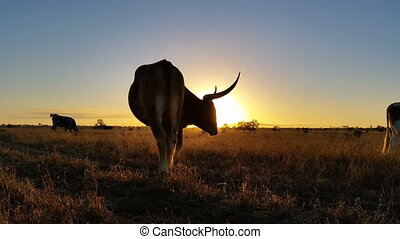 Texas Longhorn cattle farming sunset / sunrise landscape