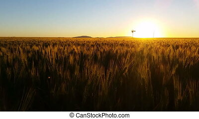 Nature Scenic Wheat field farming sunset landscape with wind...