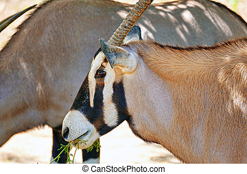 Oryx Gazella National Forest - Oryx Gazella and their...