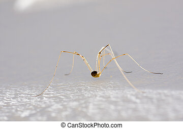Harvestman spider - Close up view of a eight-legged spider...