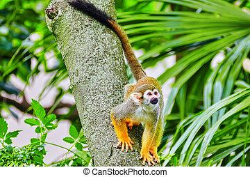 Common Squirred Monkey. - Common Squirred Monkey in its...